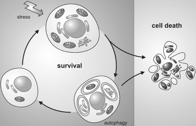 Roles of autophagy in cell death and survival